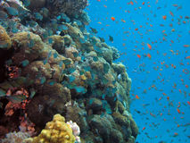 Coral and Fish. Shot in the Red Sea royalty free stock photos