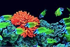 Coral Fish Fotografia de Stock Royalty Free