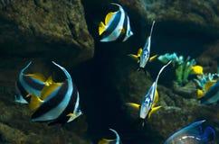 Coral Fish Lizenzfreies Stockbild