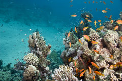 Coral and fish. Taken in ras mohammed Royalty Free Stock Images