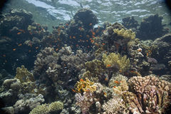Coral and fish Royalty Free Stock Images