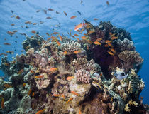 Coral and fish Stock Image