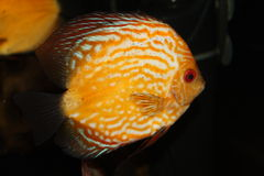 Coral Fish Foto de Stock