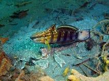 Coral Fish Image libre de droits