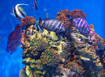 Coral fish Stock Photos
