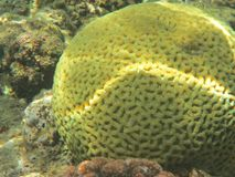Coral Fish royalty-vrije stock afbeelding