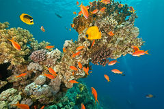 Coral and fish around Sha'ab Mahmud Royalty Free Stock Photography