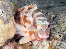 Coral fish Backtip grouper Stock Images