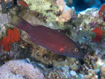 Coral fish Bandcheek wrasse Stock Photos