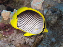 Free Coral Fish Blackbacked Butterflyfish Royalty Free Stock Photo - 47266435