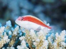 Coral fish Blackside hawkfish Stock Photos