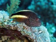Coral fish Blackside hawkfish Royalty Free Stock Photos
