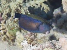Coral fish Blacktail trunkfish Royalty Free Stock Photography