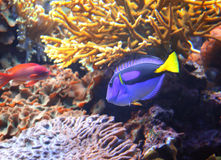 Coral fish blue tang Royalty Free Stock Photography