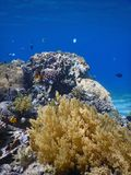 Coral fish blue underwater ocean. Paradise tropical healthy coral with lots of fish in blue underwater royalty free stock photo