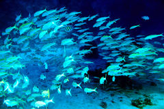 Coral fish in blue water. Royalty Free Stock Images
