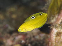 Coral fish Canary wrasse Royalty Free Stock Photo