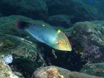 Coral fish Checkerboard wrasse Stock Photos