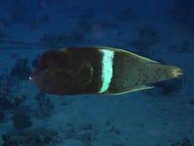 Coral fish Clown coris Royalty Free Stock Images