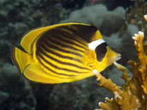 Coral fish Diagonal butterflyfish Stock Photos