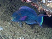 Coral fish Dusky parrotfish Stock Photo