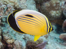 Free Coral Fish Exquisite Butterflyfish Stock Photos - 47266453
