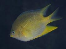 Coral fish Golden damselfish Royalty Free Stock Photo