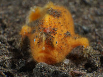 Coral fish Hairy frogfish Royalty Free Stock Photo