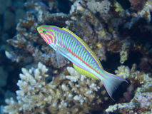 Coral fish Klunzinger`s wrasse Stock Photography