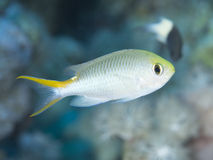 Coral fish Miry`s demoiselle Royalty Free Stock Photos