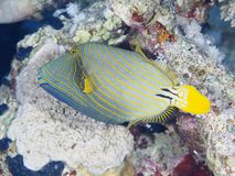 Coral fish Orange-stripped triggerfish Royalty Free Stock Photo
