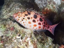Coral fish Pixie hawkfish Royalty Free Stock Photography