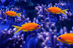 Coral fish Stock Photography