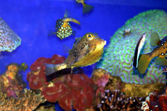 A Coral fish in the Red Sea. Israel Royalty Free Stock Photography