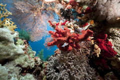 Coral and fish in the Red Sea Royalty Free Stock Photography