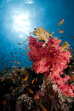 Coral and fish in the Red Sea. Stock Images