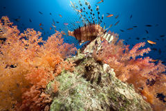 Coral and fish in the Red Sea. Royalty Free Stock Photography