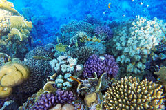 Coral and fish in the Red Sea royalty free stock photo