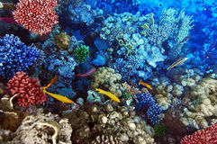 Coral and fish in the Red Sea. Royalty Free Stock Photo