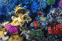 Coral and fish in the Red Sea. Royalty Free Stock Image