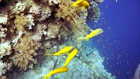 Coral and fish in the Red Sea stock video footage