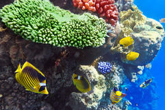 Coral and fish in the Red Sea.Egypt Royalty Free Stock Photo