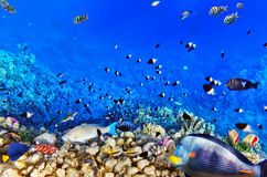 Coral and fish in the Red Sea.Egypt Stock Images