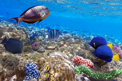 Coral and fish in the Red Sea.Egypt. Coral and fish in the Red Sea. Egypt Royalty Free Stock Images