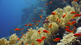 Coral and fish. In the Red Sea. Egypt