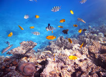 Coral and fish in the Red Sea Stock Photography