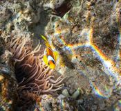 Coral fish Royalty Free Stock Photography