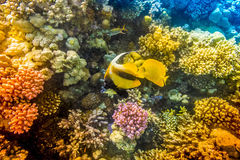 Coral and fish in the Red Sea. Egypt Royalty Free Stock Photo