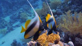 Coral and fish in the Red Sea. Egypt stock footage