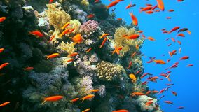 Coral and fish in the Red Sea. Egypt stock video footage